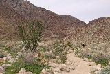 Borrego_Palm_Canyon_025_02092019 - Going past some weird looking ocotillo cactus along the Borrego Palm Canyon Trail