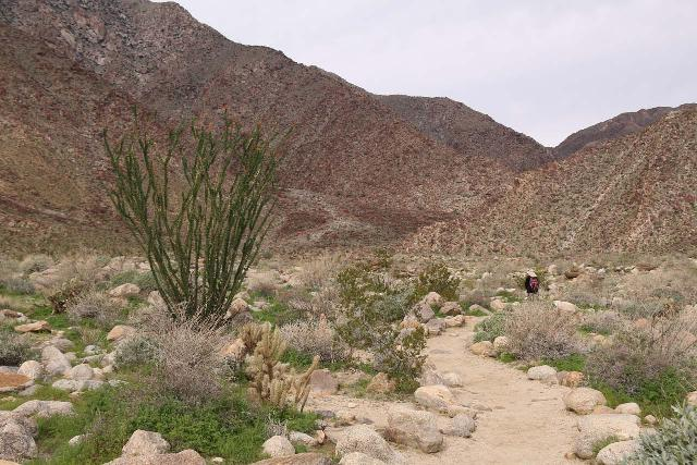 Borrego_Palm_Canyon_025_02092019 - Julie passing by an ocotillo plant along the open part of the Borrego Palm Canyon Trail