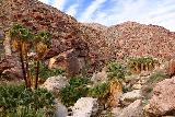 Borrego_Palm_Canyon_114_02092019 - Contextual look at the fan palm oasis further ahead as the trail pretty much started merging with the trail