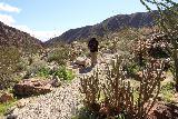 Borrego_Palm_Canyon_240_02092019 - Some beavertail cacti along the alternate Borrego Palm Canyon Trail