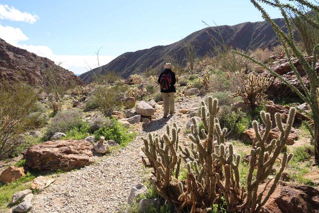 Borrego_Palm_Canyon_240_02092019 - Context of the alternate trail and some cacti alongside the wide open trail during our return hike from the Borrego Palm Canyon Falls. It was at this point that Julie decided to take the main trail and leave me to hike this alternate trail