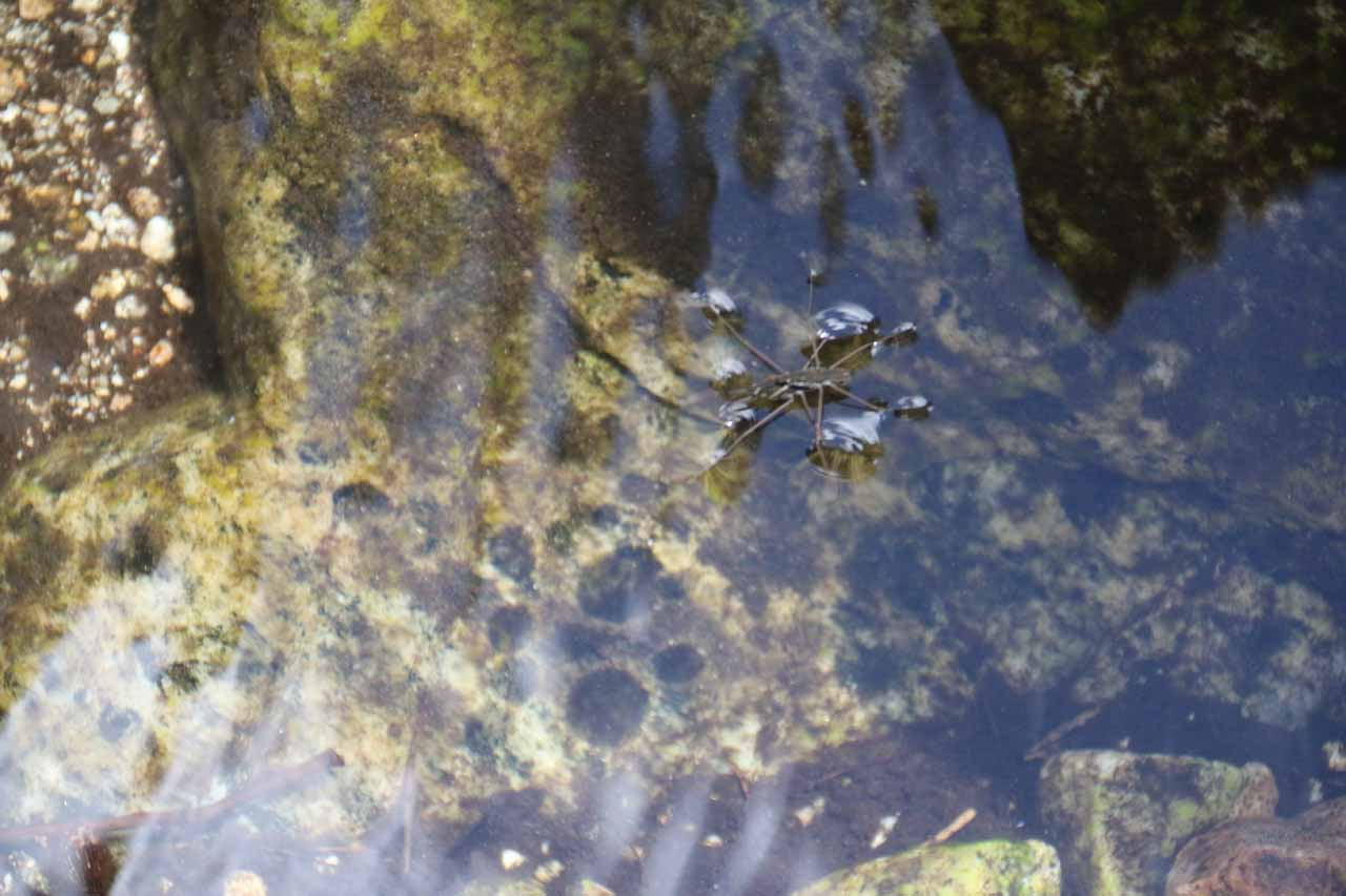 This was one of the interesting long-legged water bugs near Buckhorn Falls