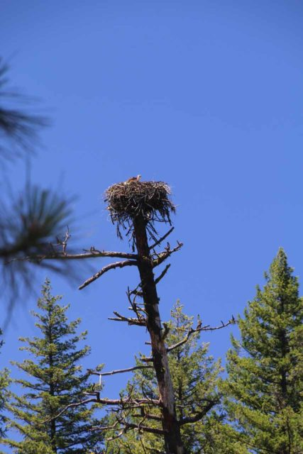 Burney_Falls_280_06202016 - Looking up at some kind of eagle's nest perched right on top of a tree missing its top near Burney Falls