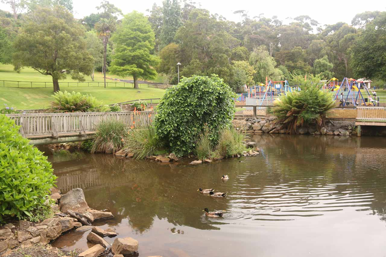 Ducks appeared to be residents of Stoney Creek in Burnie Park
