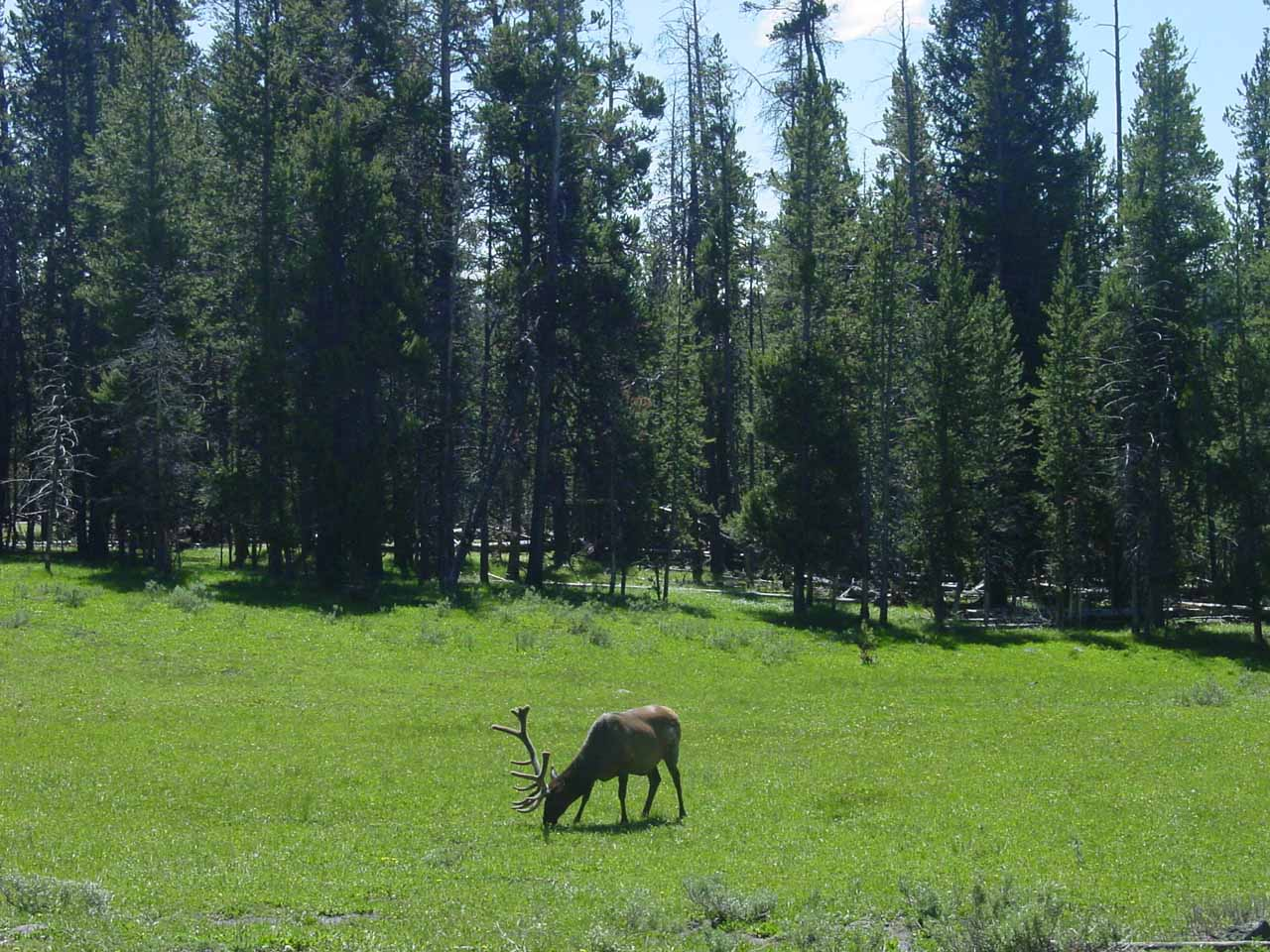 This grazing elk gained a lot of attention near Canyon Village