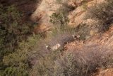Canyon_Overlook_Trail_019_04042018 - Looking down at some desert bighorn sheep along the Canyon Overlook Trail