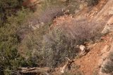 Canyon_Overlook_Trail_021_04042018 - More zoomed in look at some of the desert bighorn sheep seen along the Canyon Overlook Trail