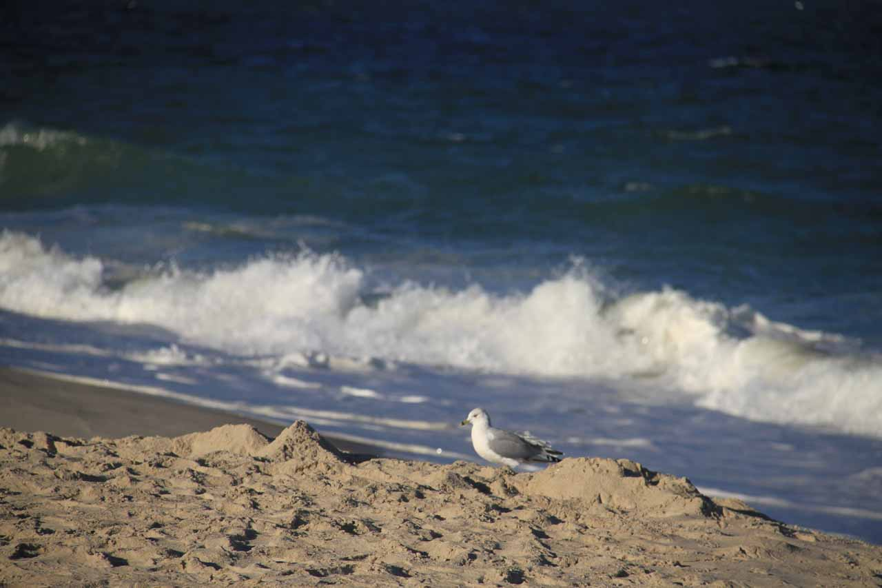 A gull on the sands of Nauset Beach by the waves