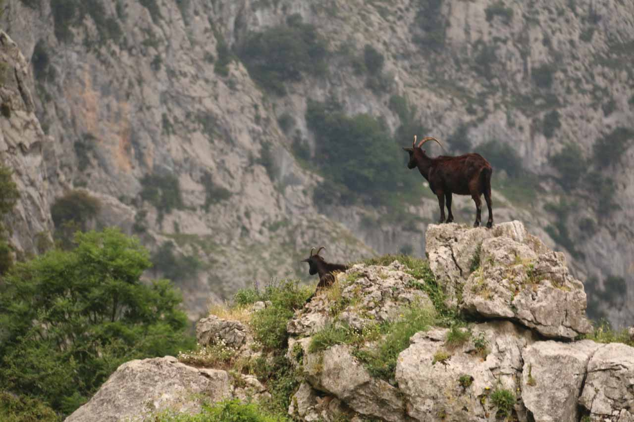 Walking amongst the mountain goats in the Garganta del Cares