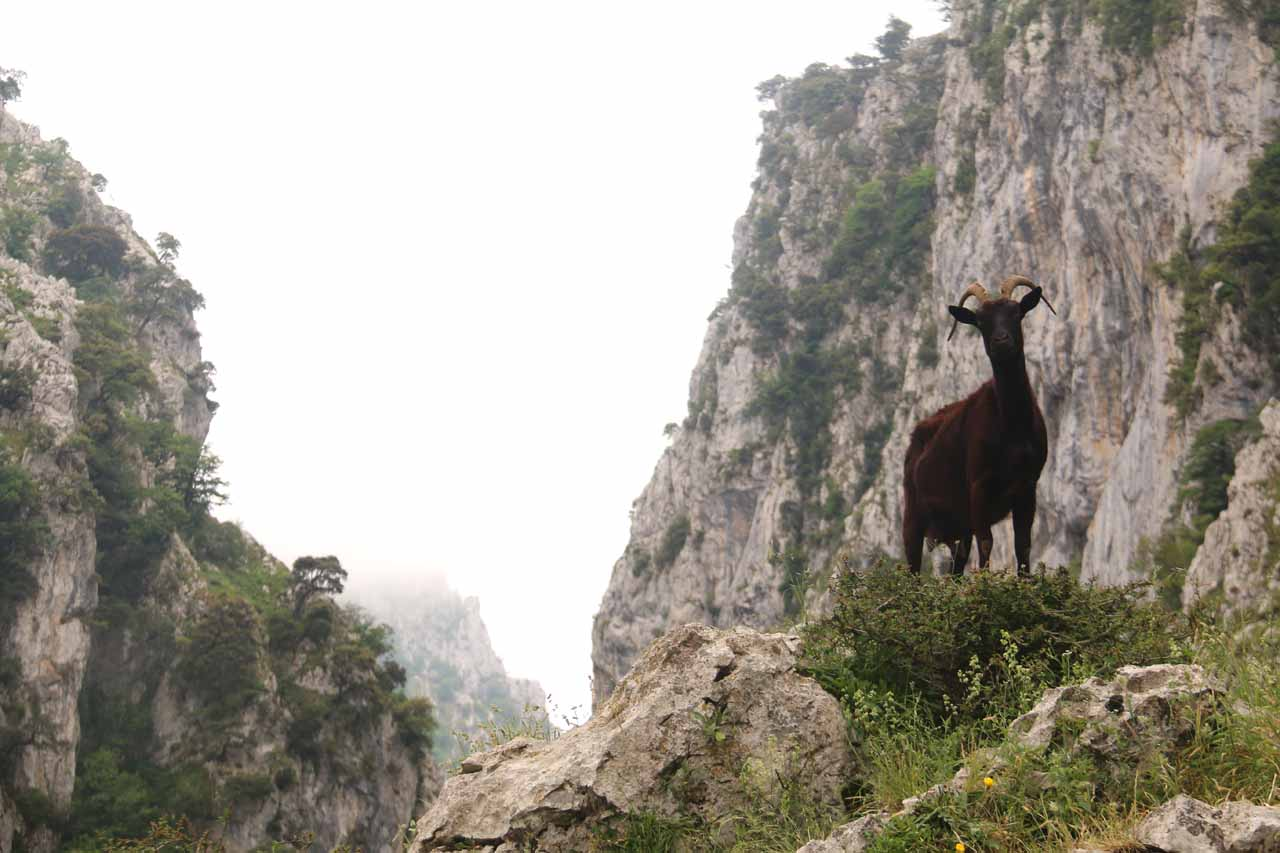Looking up at a mountain goat while walking the Ruta de Cares