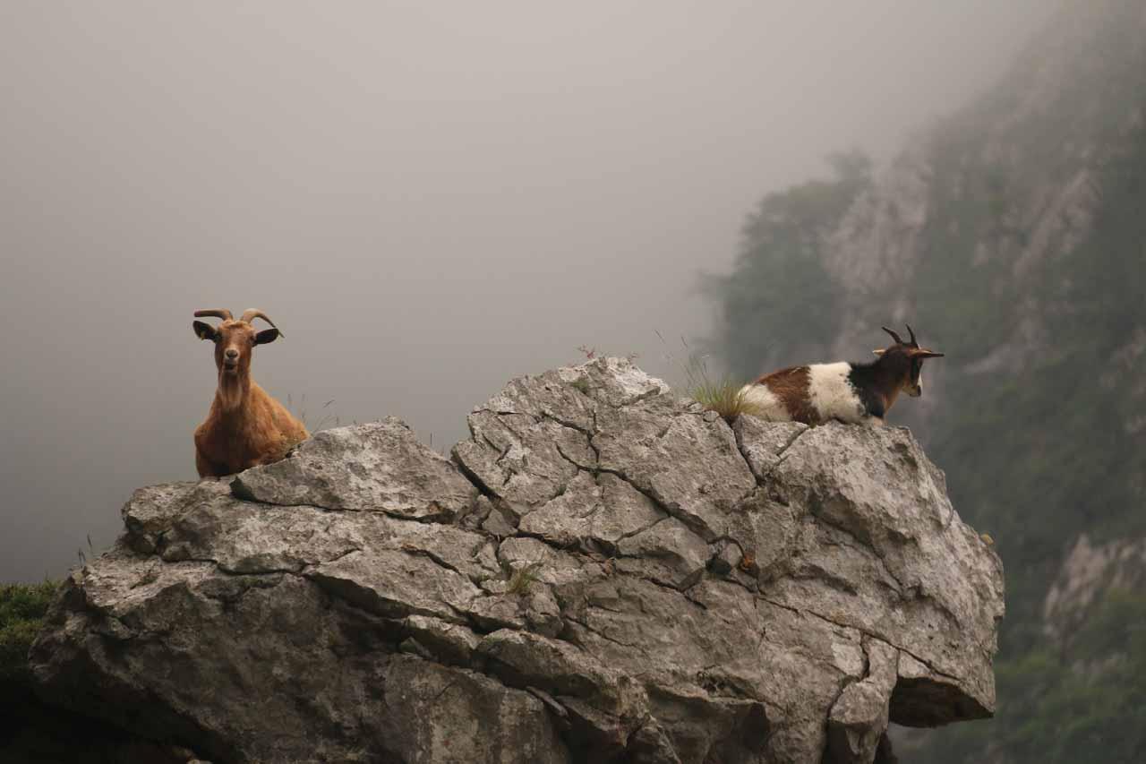 Closeup look at another pair of mountain goats along the Ruta de Cares
