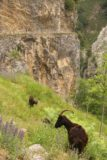Cares_Gorge_582_06112015 - Getting re-acquainted with the familiar brown mountain goats within the Cares Gorge