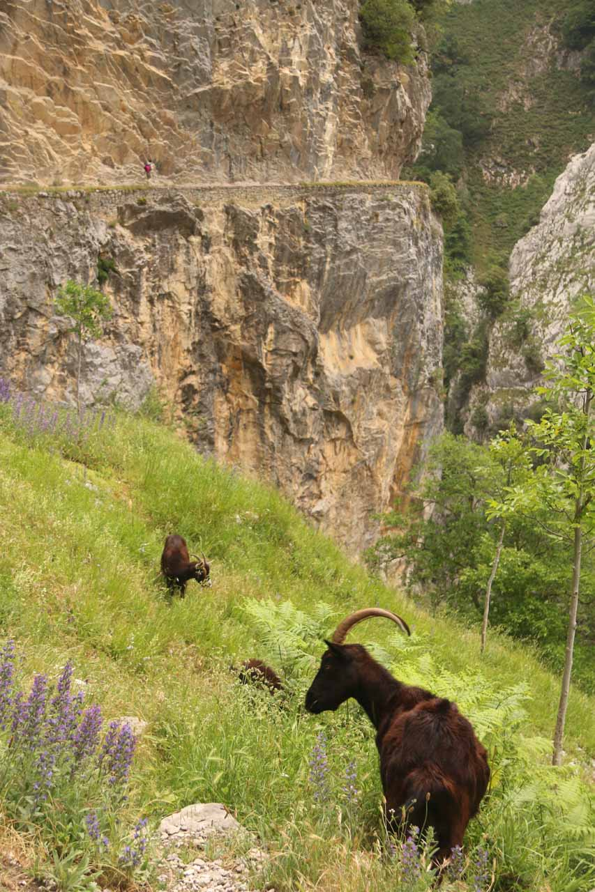 Looking back at a couple of mountain goats along the Ruta de Cares that I might have seen earlier in the day