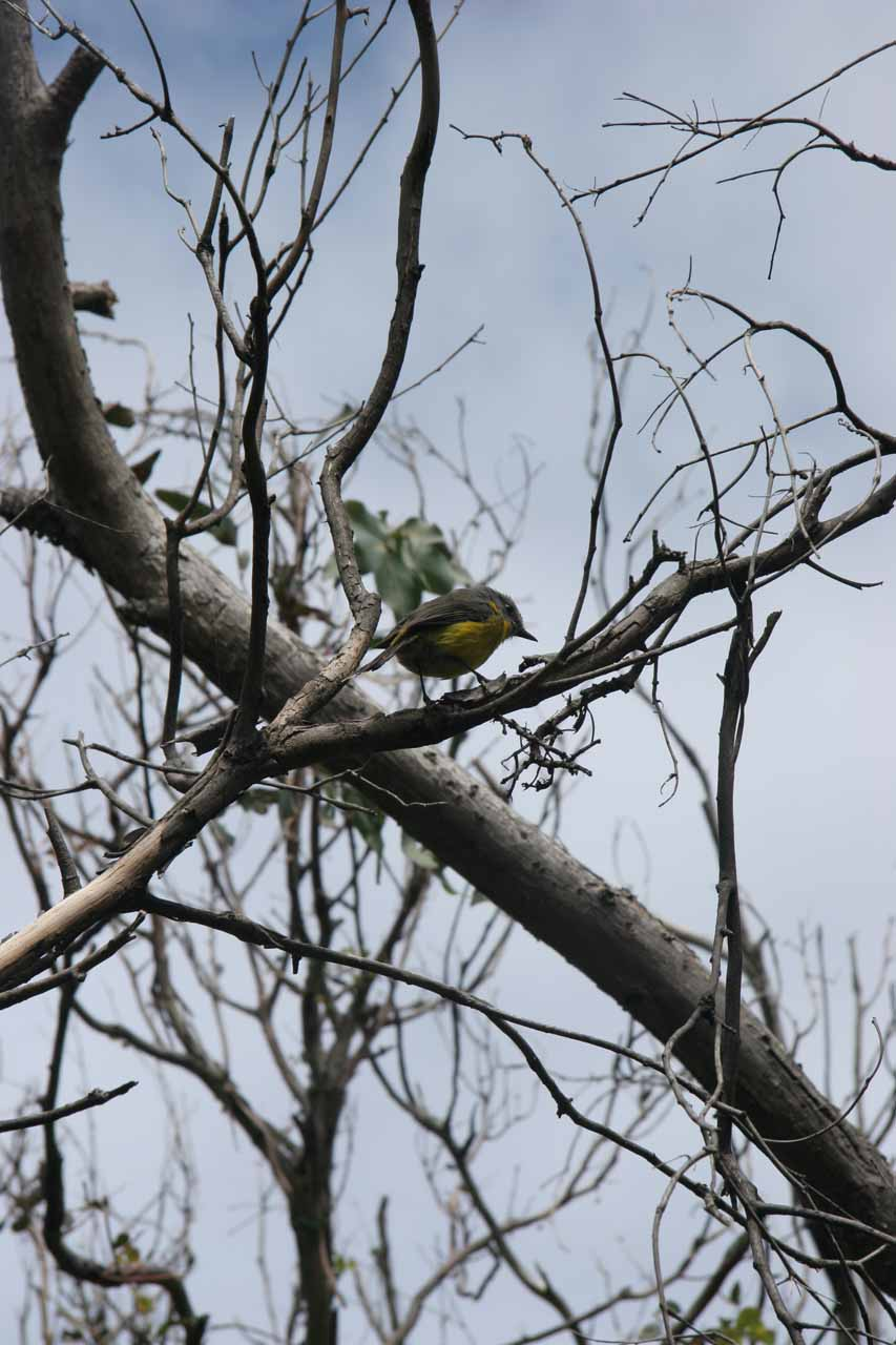 We noticed this green little bird checking us out while we were on our way to Carisbrook Falls