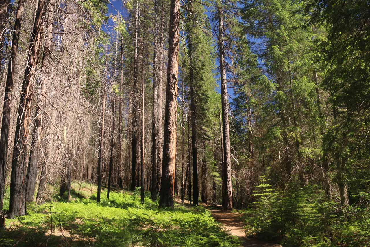 When the flat first mile of the hike wasn't by the South Fork Tuolumne River, it went through forested terrain like this as we were surrounded by tall trees providing ample shade and serenity