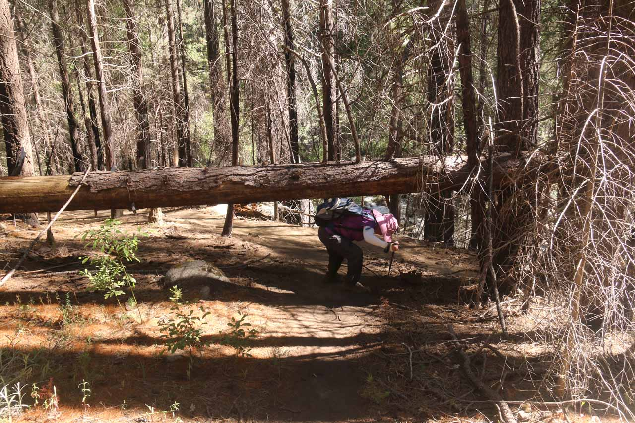 Mom ducking under another deadfall on the Carlon Falls Trail