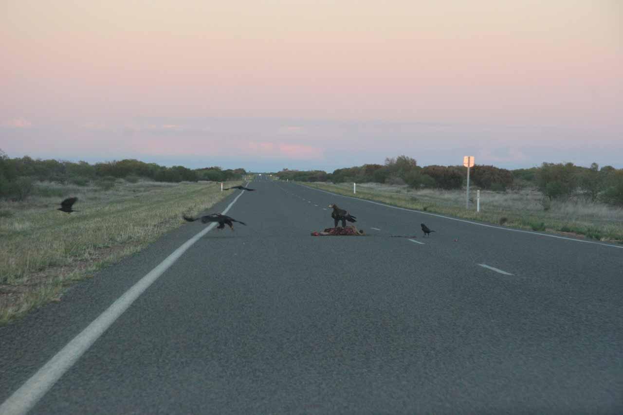 Giant birds or hawks pecking away at roadkill near Carnarvon