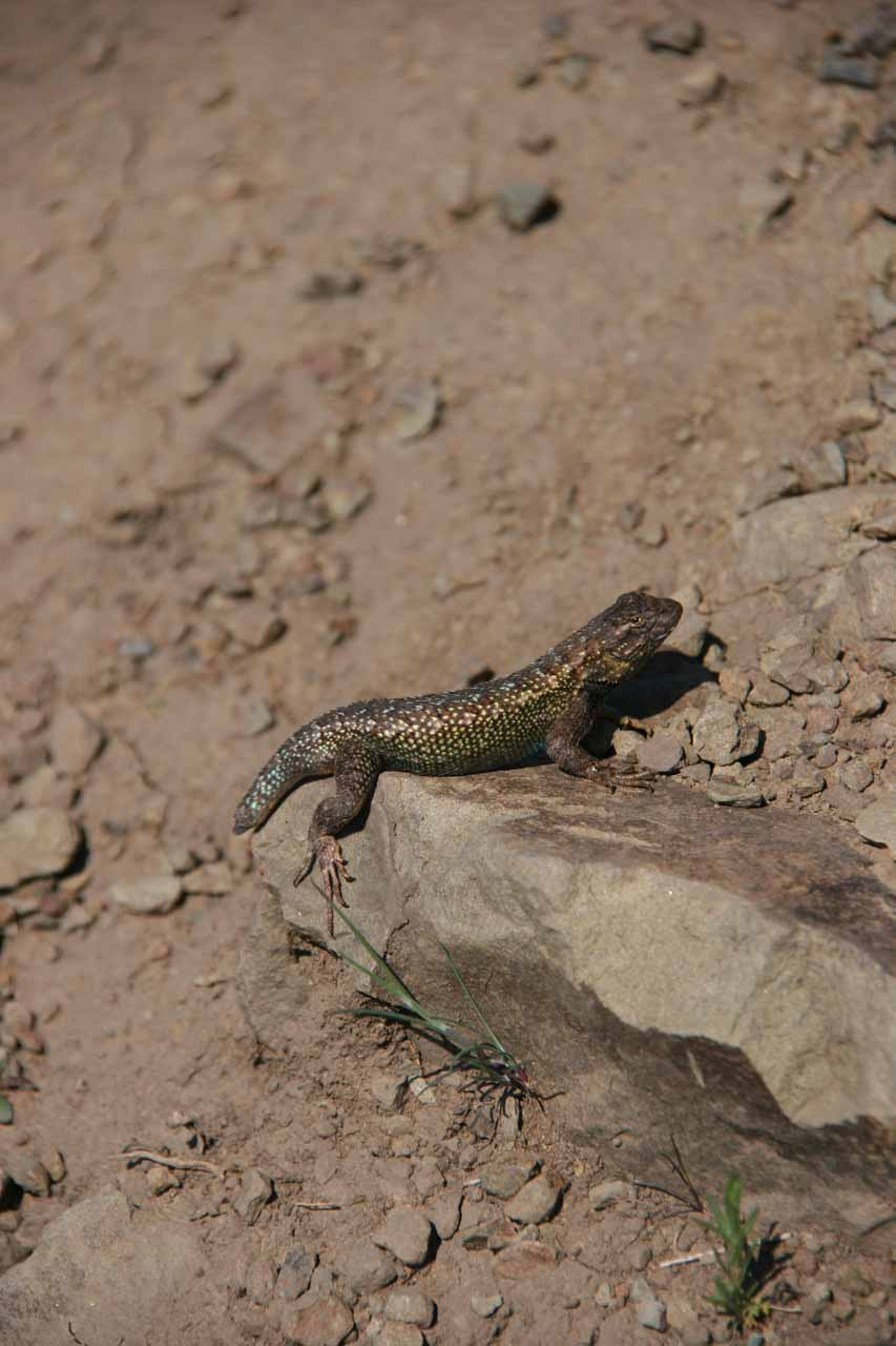 One of many lizards I saw along the trail and the falls