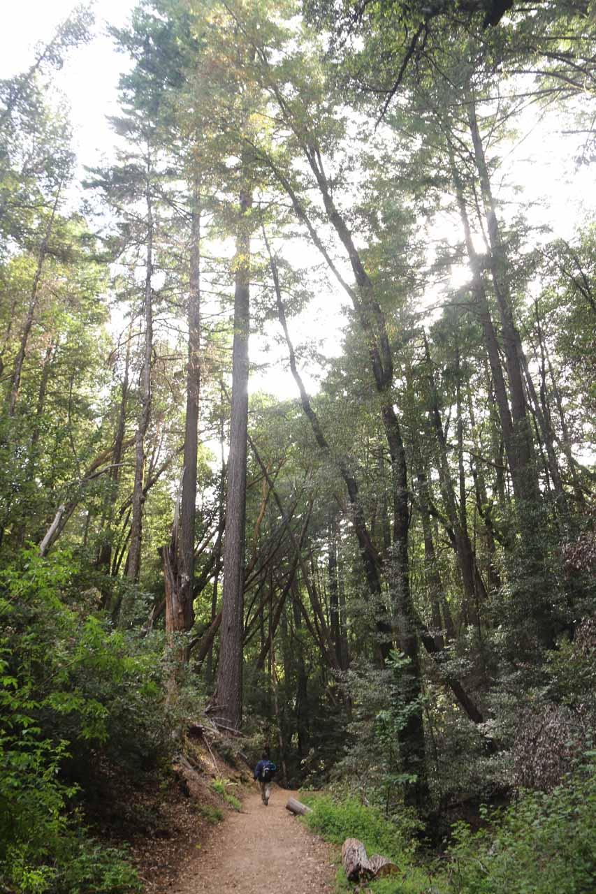 We encountered a lot of imposingly tall trees alongside the trail, and I suspected that some of these tall trees were coastal redwoods