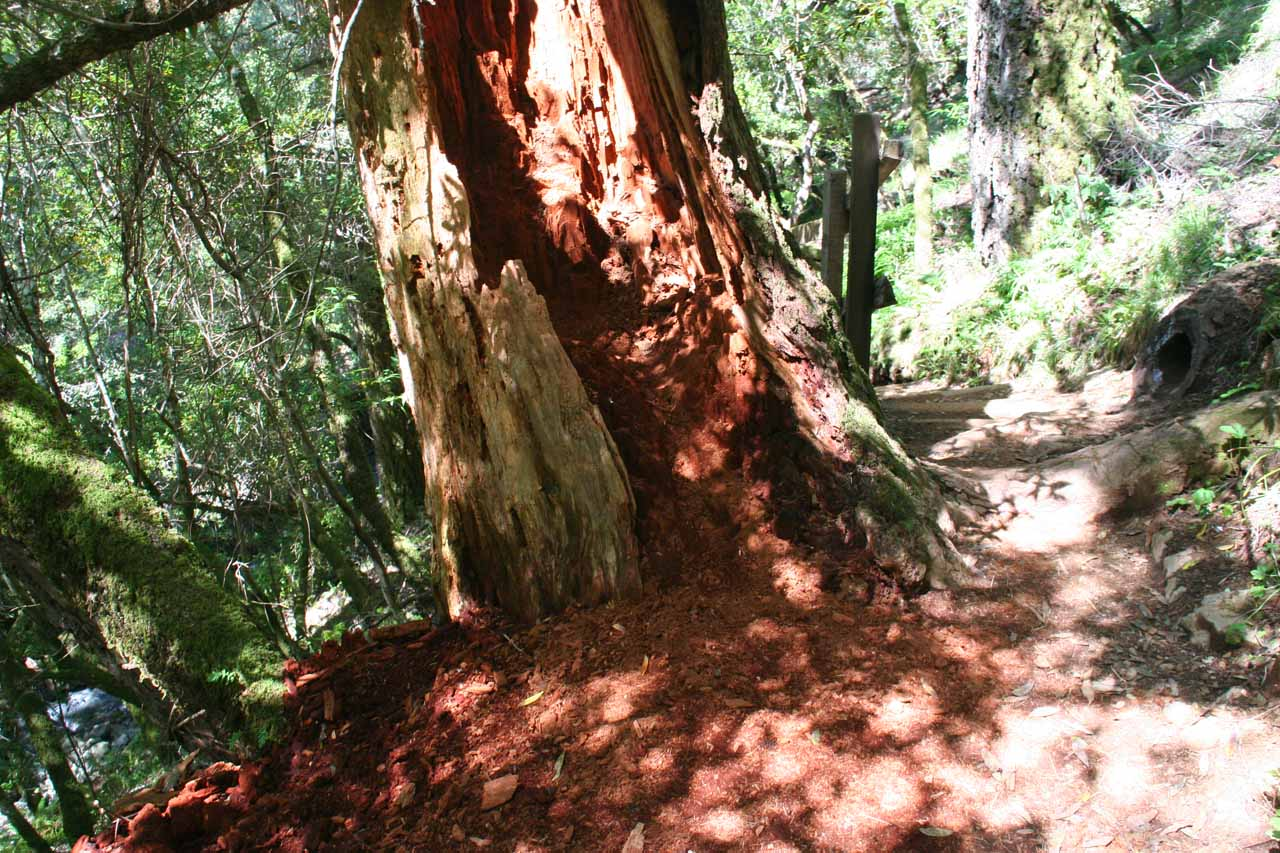 We saw what looked like redwood-like trees along the trail