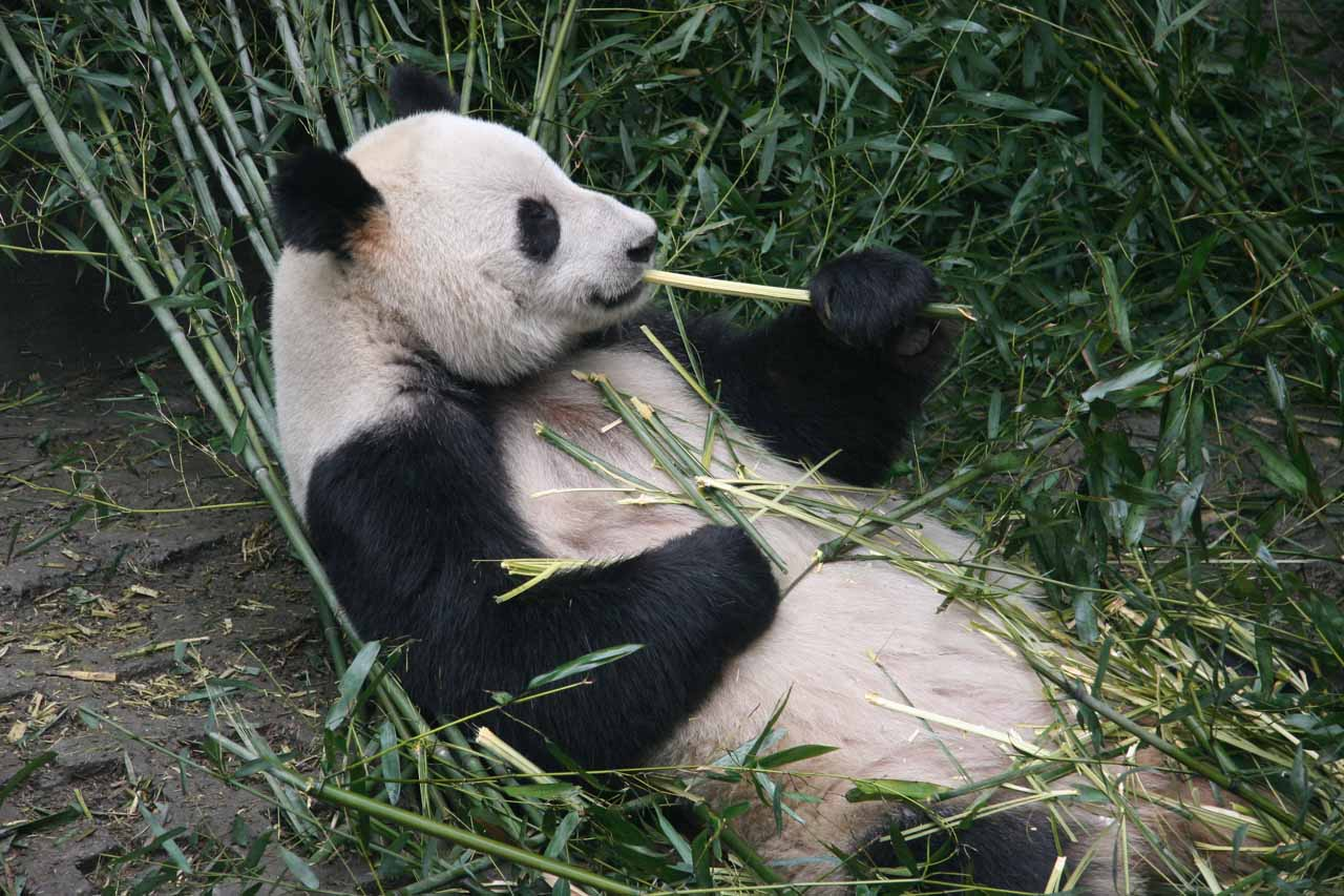 Another look at a panda eating a bamboo stick