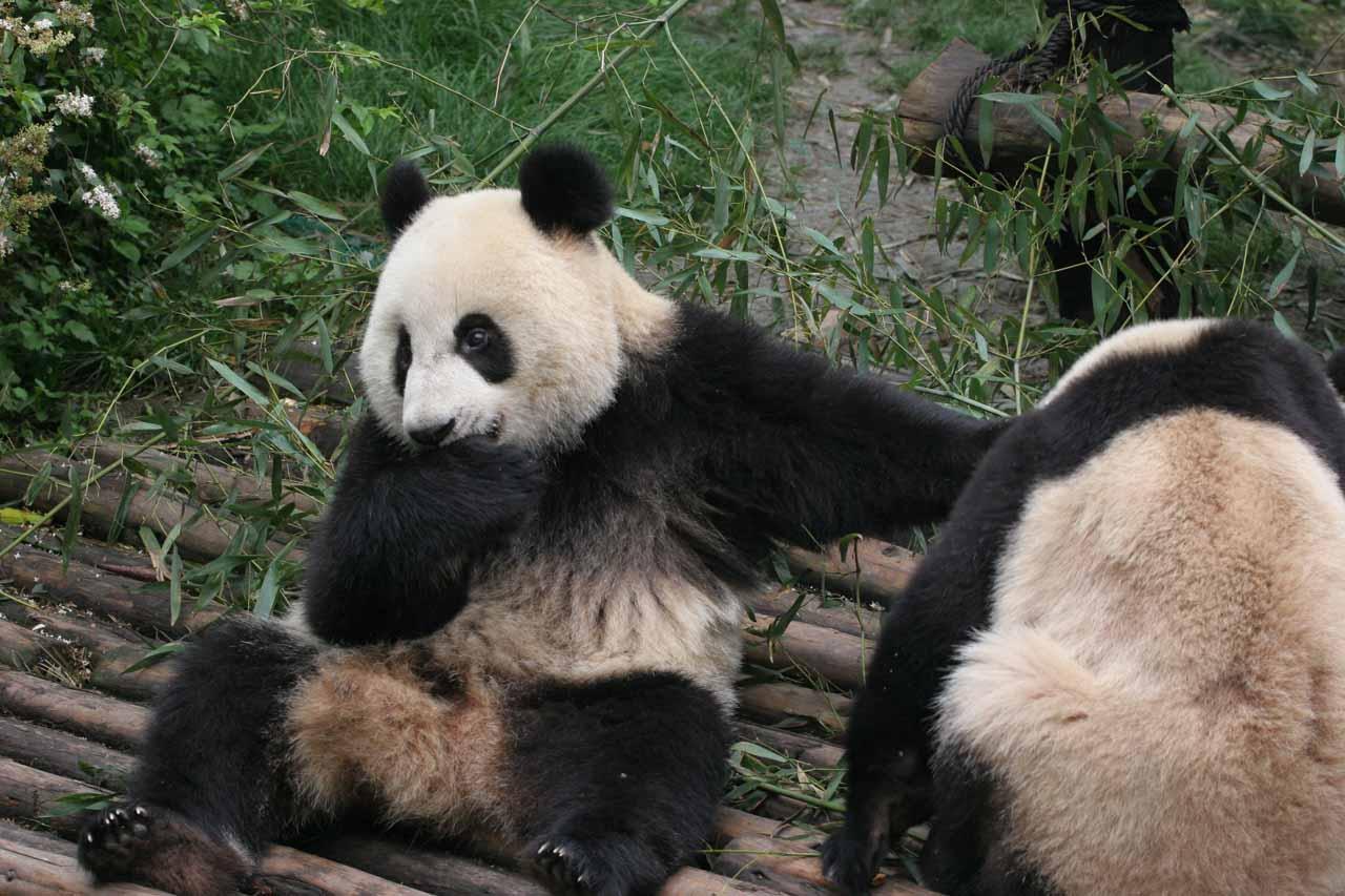 Pair of pandas playfully eating