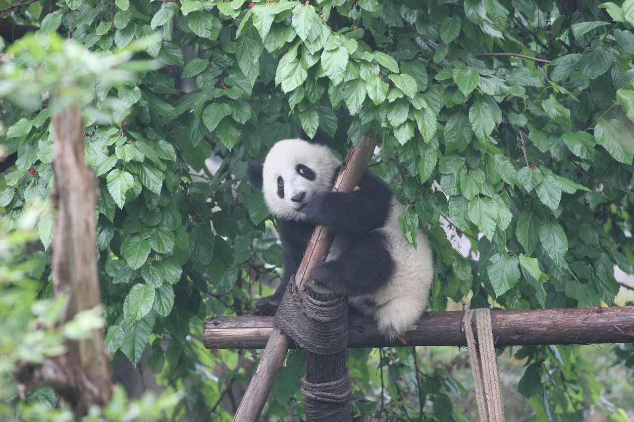 A panda hanging onto a pole looking afraid