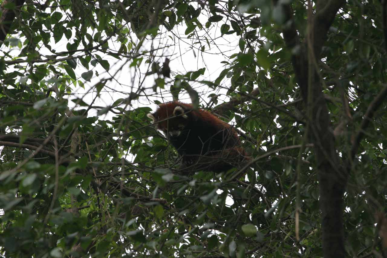 A red panda hiding in the foliage