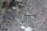 Chilnualna_Falls_17_060_06172017 - On quiet trails like this one (especially early in the morning), there's no telling what you might find.  This was a 'baby' rattlesnake slithering away from the Chilnualna Falls Trail during our June 2017 hike