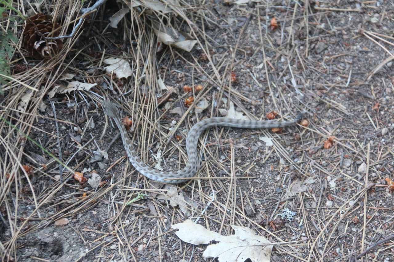 On quiet trails like this one (especially early in the morning), there's no telling what you might find.  This was a 'baby' rattlesnake slithering away from the trail itself