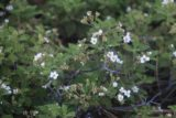 Chilnualna_Falls_17_093_06172017 - Here's a closer look at some of the wildflowers found in the low-lying shrub patches alongside the Chilnualna Falls Trail. However, the mosquitos were pretty bad here when this photo was taken in June 2017