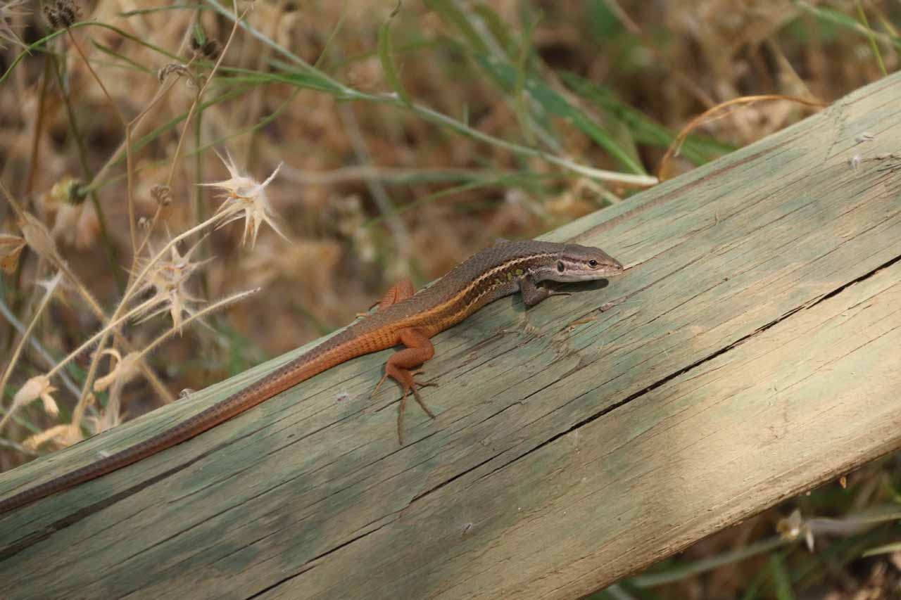 We noticed quite a few of these lizards while doing the Cascada de la Cimbarra hike, which attested to how hot and dry this area was during our visit