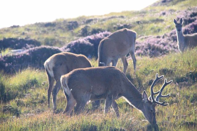 Clashnessie_003_08252014 - An unexpected surprise while driving the single-lane B869 road leading into Clashnessie was sighting these red deer grazing by the road