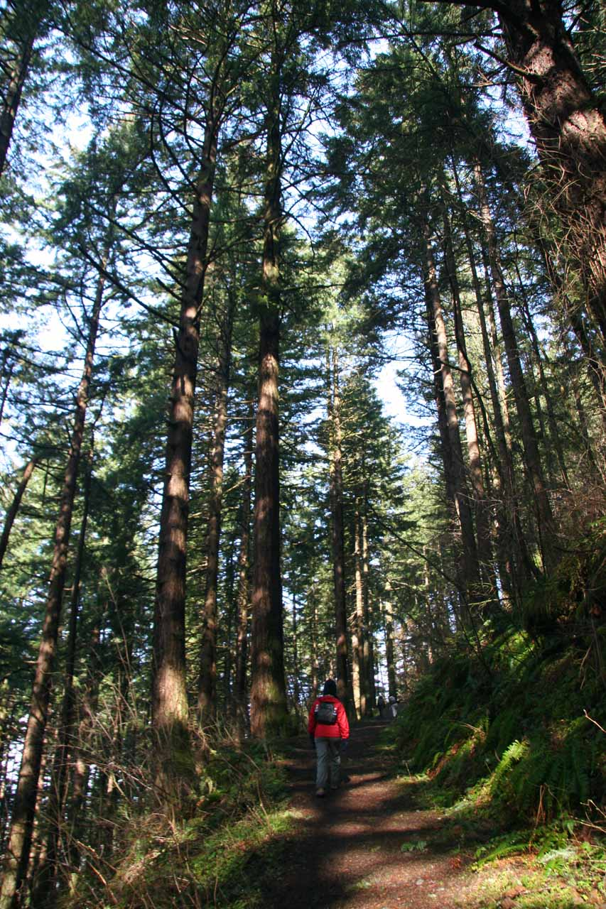 Julie on the trail amongst tall trees on the ascent
