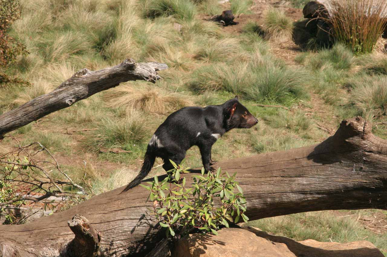 Prior to visiting Crater Falls, we also paid a visit to the Tasmanian Devil Sanctuary in Cradle Valley, which let us get an up close look at this endangered species