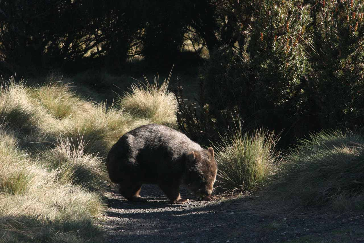 This furry little fella was a wombat that we saw on our way back to the Cradle Mountain Lodge after our Crater Falls hike