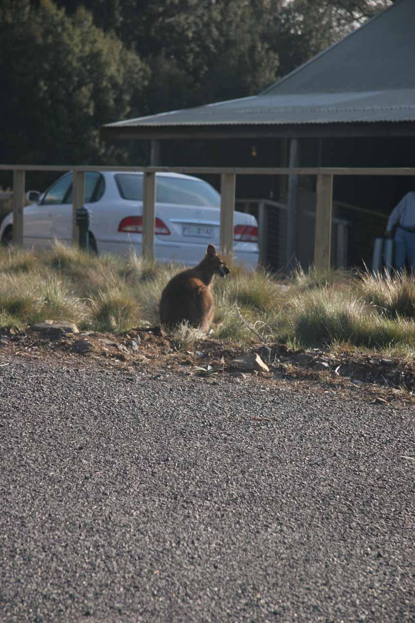 Kangaroo at Cradle Mountain Lodge