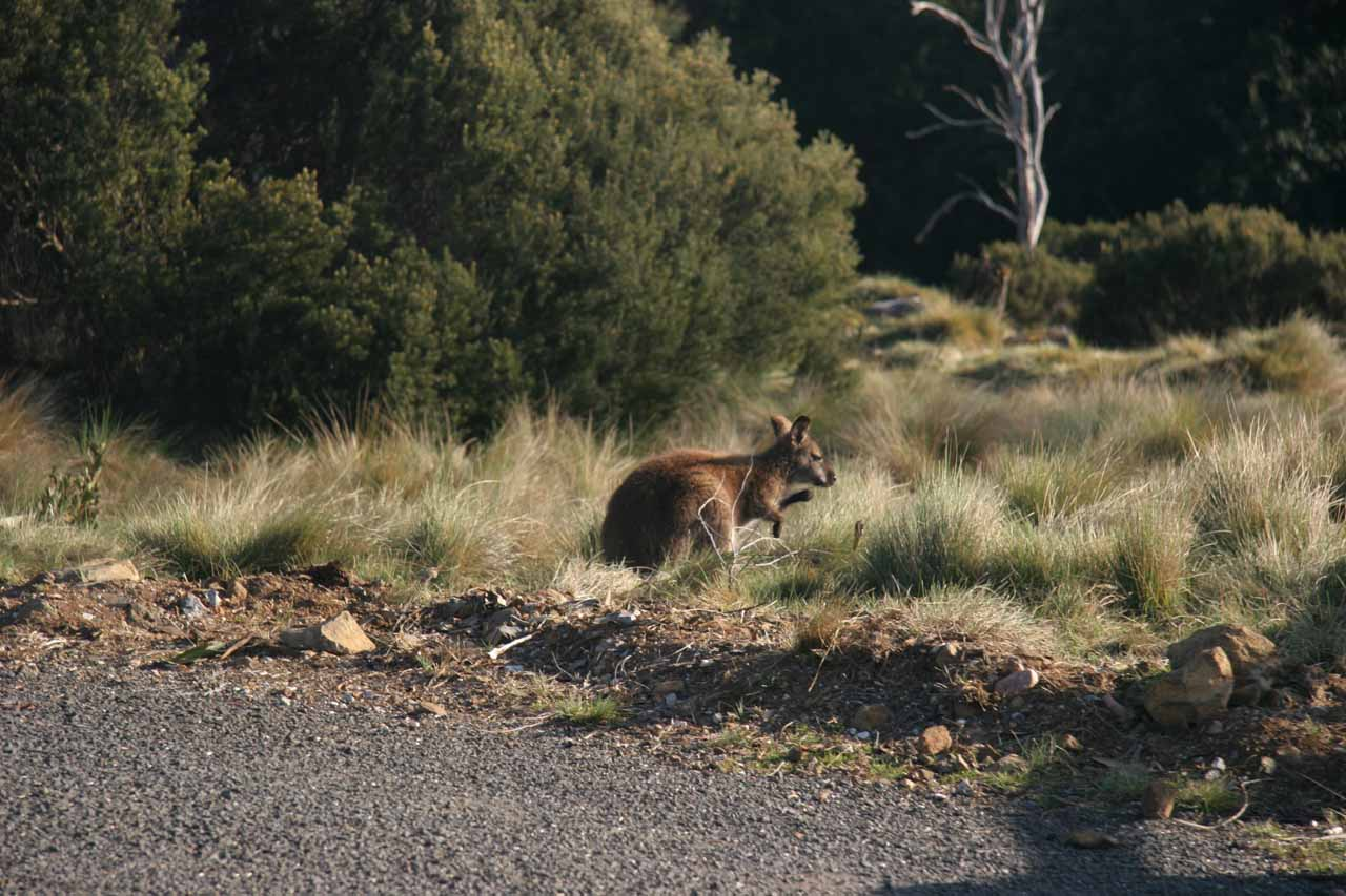 We spotted this kangaroo near the Cradle Mountain Lodge, which itself was within reasonable walking distance to the trailhead of both the Pencil Pine Creek Track and the Enchanted Walk