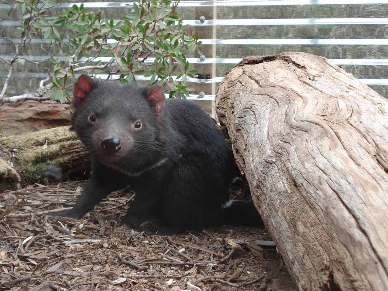 Cradle Valley was also worthwhile to us for a visit because we got to visit the Tasmanian Devil Sanctuary to see these guys up close