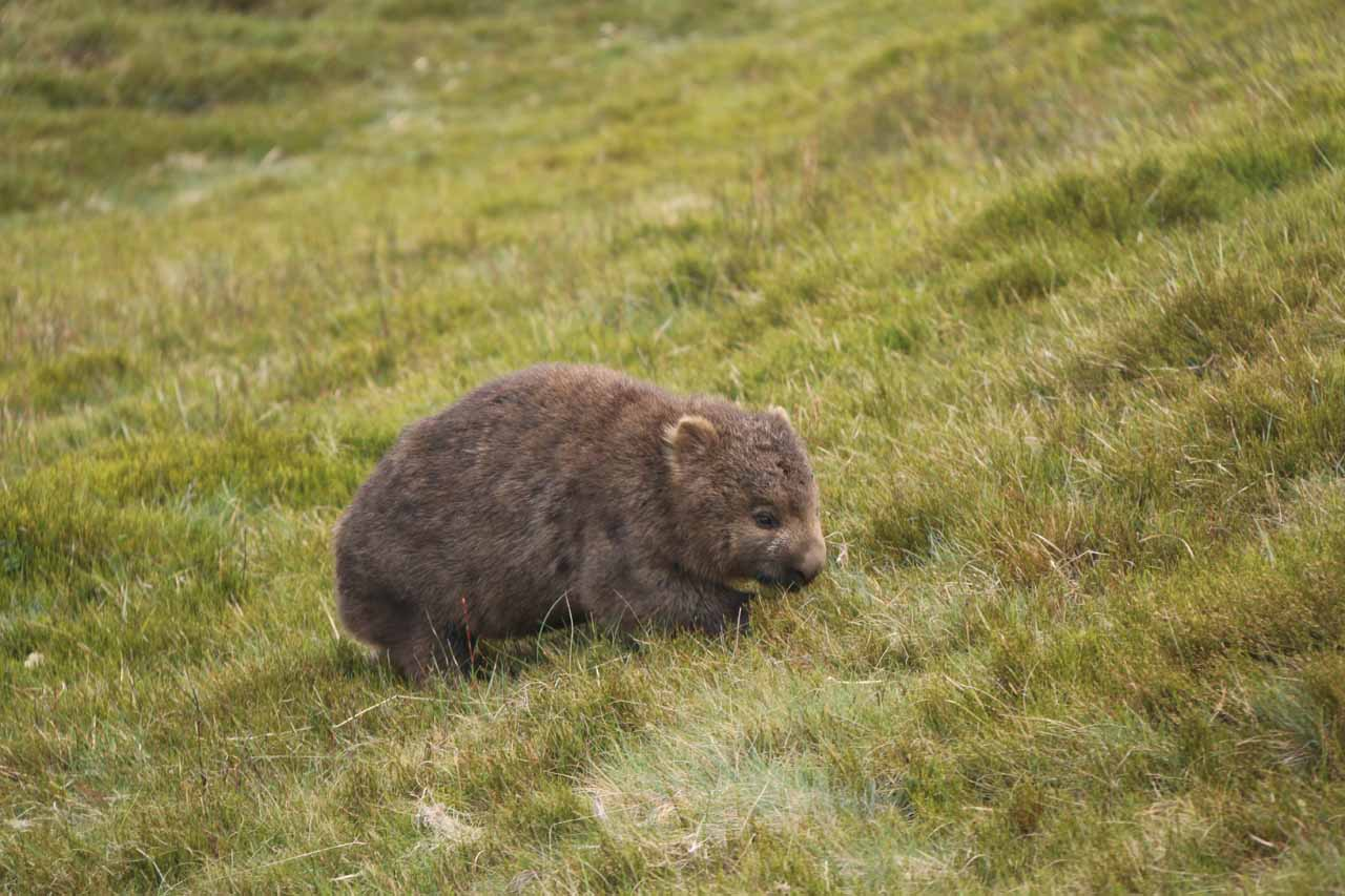 Here was another furry wombat happily grazing near the boardwalk