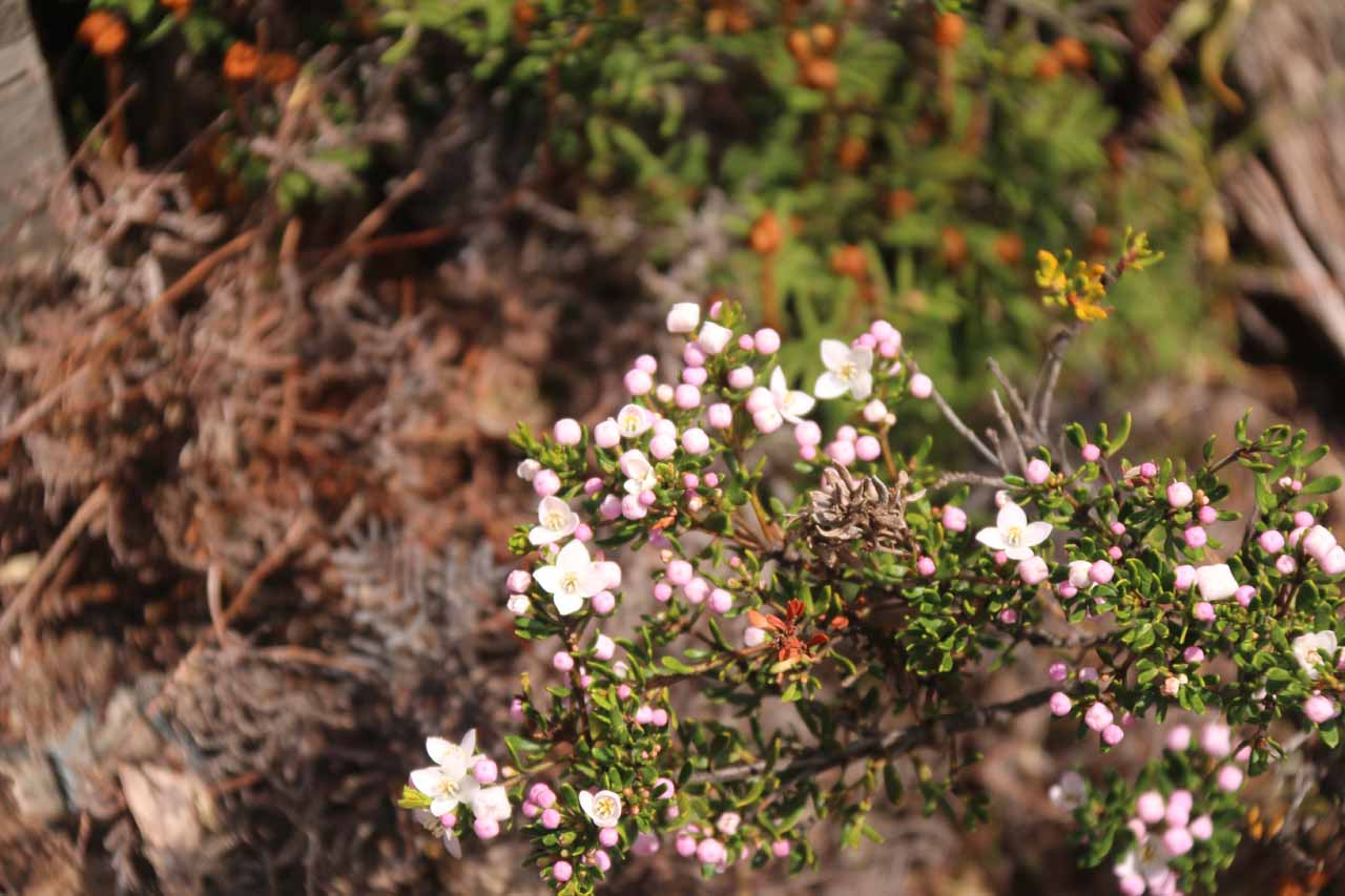 We spotted some of these lighter coloured berries alongside the Overland Track, too