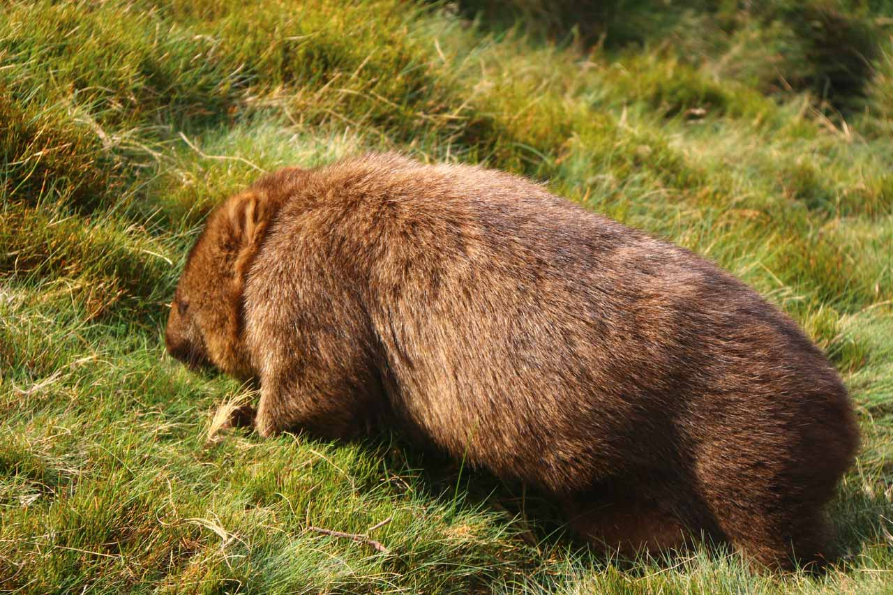 Within the wide open buttongrass moor along Ronny Creek, we saw lots of wombat happily grazing while we were playing the role of the paparazzi