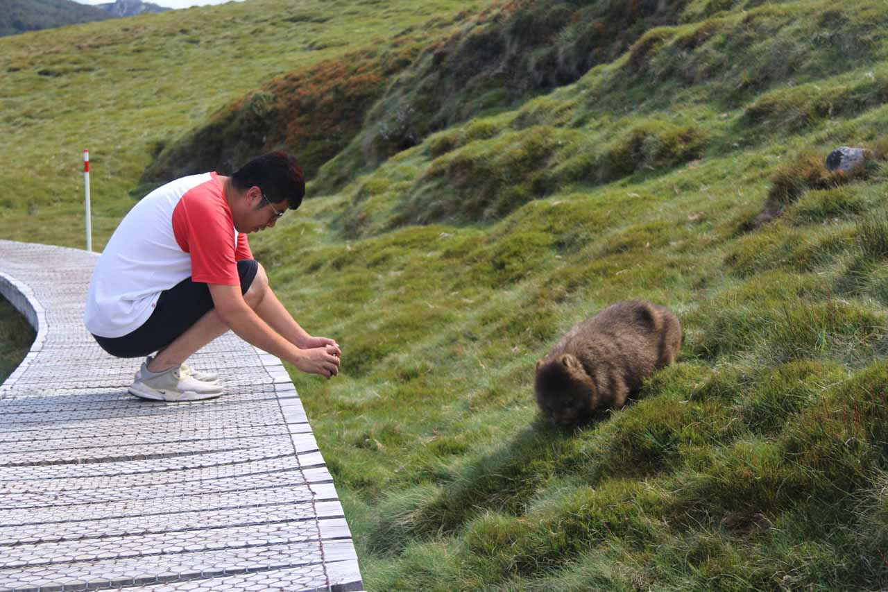 Some of the wildlife like this wombat was really close to the boardwalk