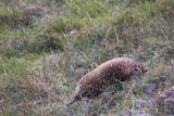 Crater_Falls_17_290_11292017 - Finally spotting an echidna that wasn't on the road