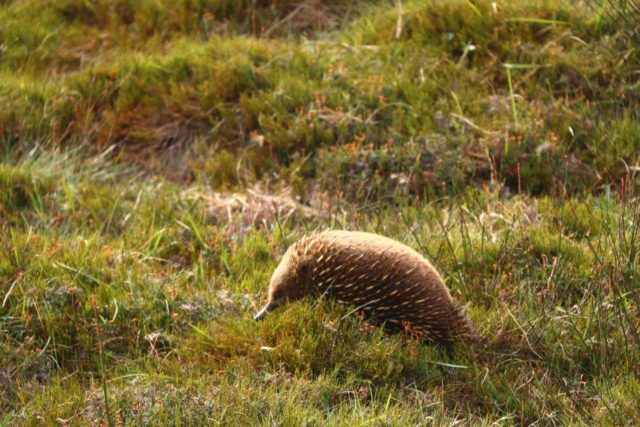 Crater_Falls_17_304_11292017 - Queenstown was over 90 minutes drive from Cradle Mountain, where the reserve acted like a sanctuary allowing frequent wildlife sights, especially wombats and echidnas (shown here)