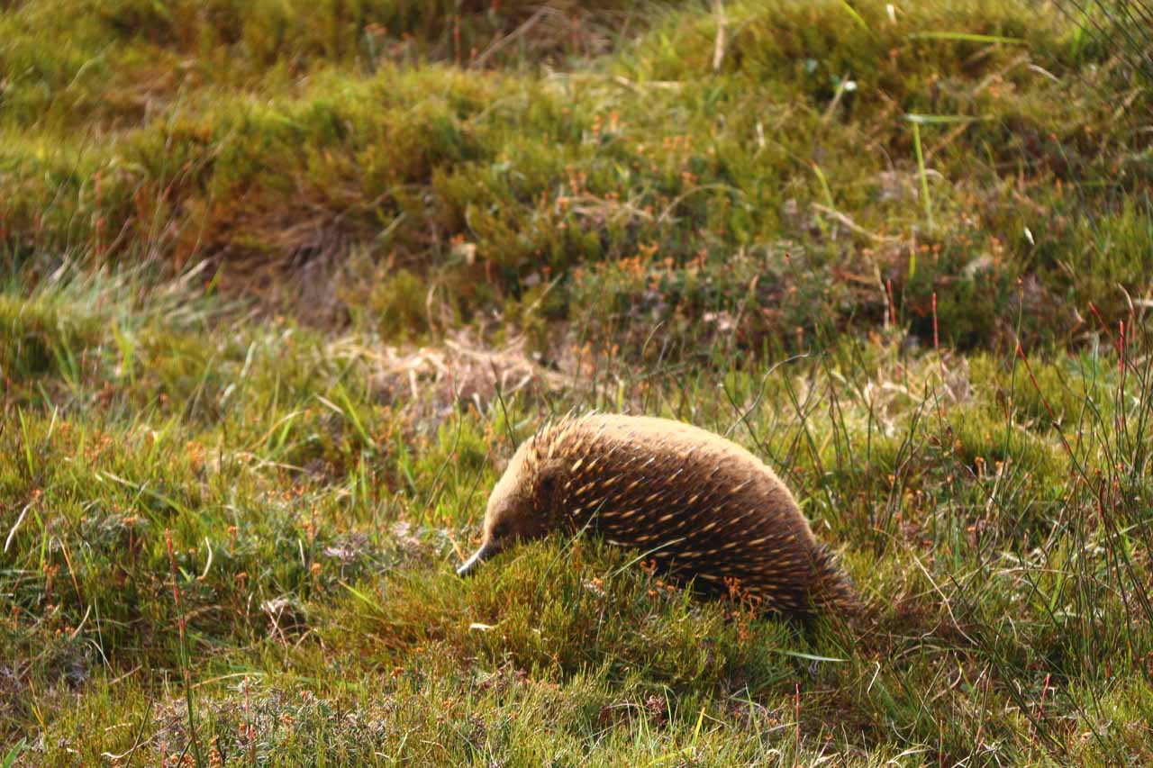Queenstown was over 90 minutes drive from Cradle Mountain, where the reserve acted like a sanctuary allowing frequent wildlife sights, especially wombats and echidnas (shown here)