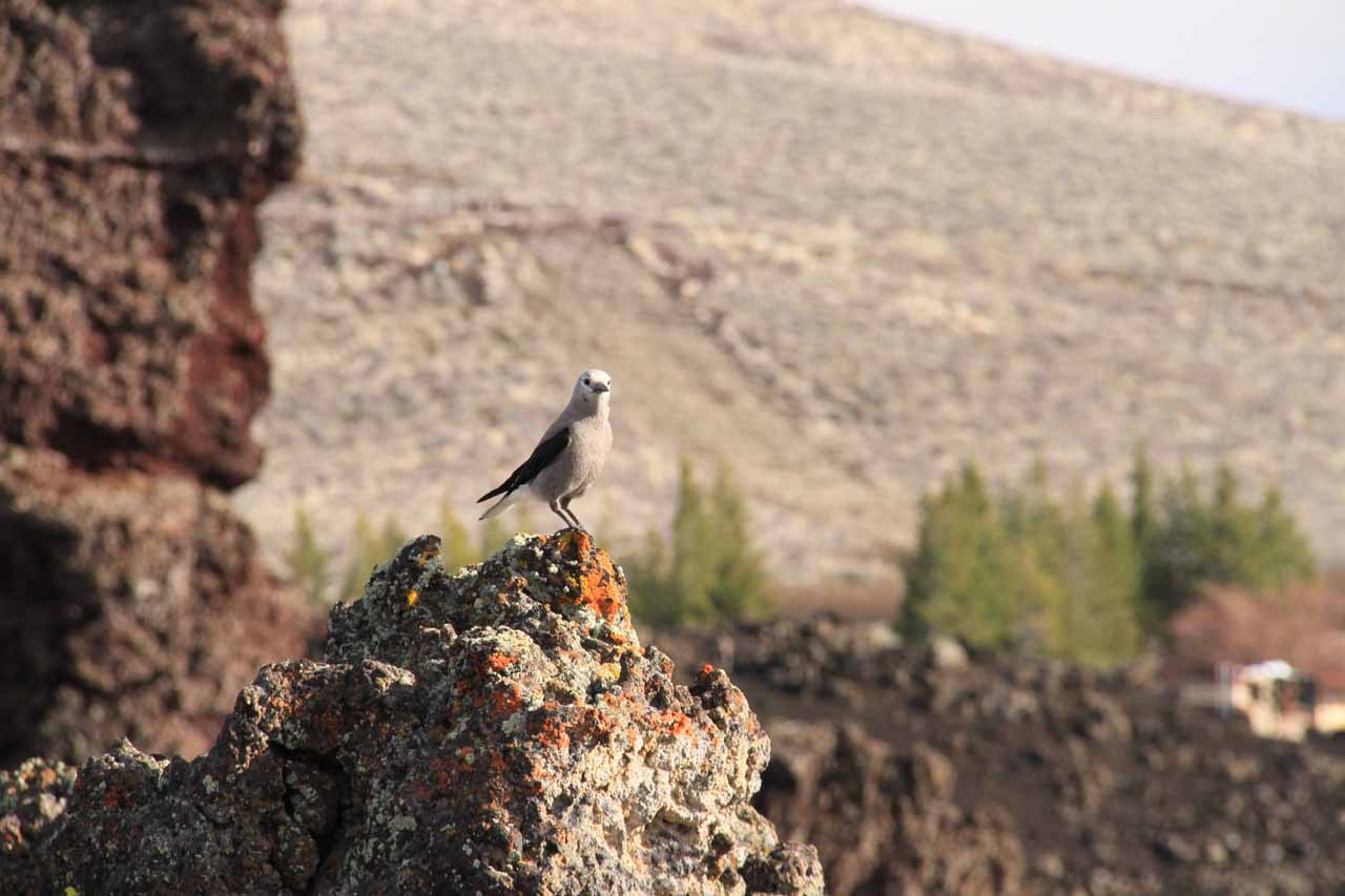 Some bird making itself comfortable at the North Crater lava flow