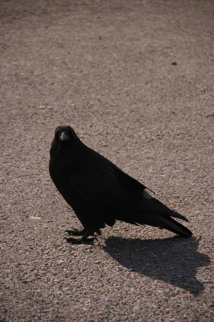 This crow showed up at the Crowfoot Glacier car park