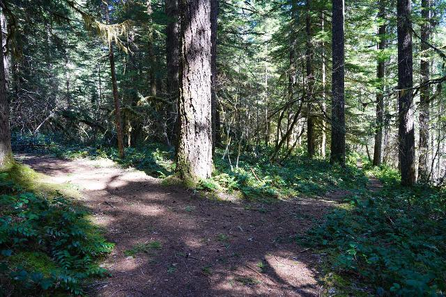 Curly_Creek_Falls_082_04052021 - On the return hike from the waterfalls, I actually explored a little bit of the unsigned fork on the right, which followed along the Lewis River. The wider path on the left went back to the Curly Creek Trailhead 31A