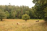 Danska_Fall_076_07292019 - Looking towards a couple of cows grazing in the pasture by the Danska Fall Trail
